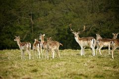 Fallow park deer in Dartington Deer Park grounds. Herd of peaceful grazing fallow deer on a cold March day royalty free stock photography