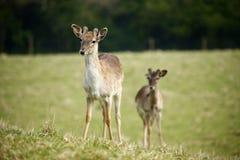 Fallow park deer in Dartington Deer Park grounds royalty free stock image
