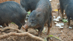 Herd of peccary pig eating. Common names: Sacha kuchi, Pecarí de labio blanco, Puerco sajino, Huangana. Stock Images