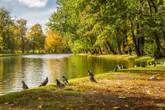 Herd of pigeons on autumn river Royalty Free Stock Photography