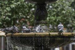 Pigeons stand on the fountain Stock Photo