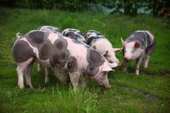 Herd of pigs on eco animal farm rural scene Stock Photos
