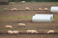 Herd of pigs. On a farm in Devon royalty free stock image