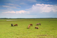 Pigs in a meadow Royalty Free Stock Images