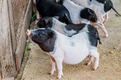 Herd of pigs at pig breeding farm. Herd of pigs at pig breeding farm Royalty Free Stock Photo