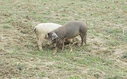 Herd of pigs Stock Photos