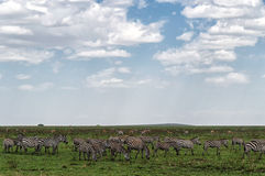 Herd of plain zebras Stock Photos