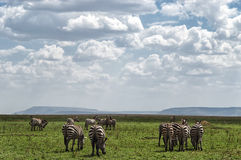 Herd of plain zebras Royalty Free Stock Photos