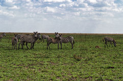 Herd of plain zebras Stock Images