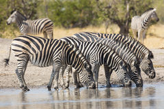 Herd of Plains Zebra (Equus burchellii) drinking in South Africa Stock Photo