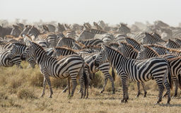 Herd of Plains Zebra in the Serengeti, Tanzania Royalty Free Stock Image