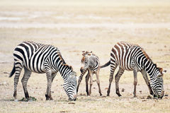 Herd of Plains Zebras Stock Photos