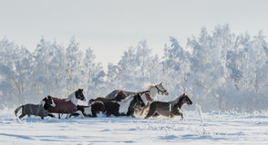 Herd of ponies and miniature horses on snowfield Stock Photos