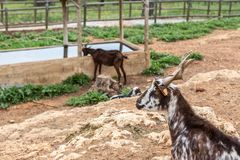 A herd of Portuguese goats is kept in the stall. To graze. Stock Image