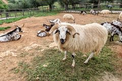 A herd of Portuguese goats is kept in the stall. To graze. Royalty Free Stock Image