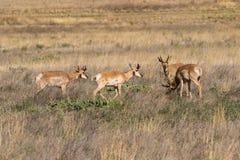 Herd of Pronghorn Antelope Bucks Stock Photography