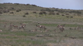 Herd of pronghorn antelope. A group of pronghorn antelope in the rut on the prairie stock video