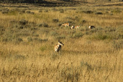 Herd of pronghorns, late summer, grazing in Jackson Hole, Wyomin Stock Image