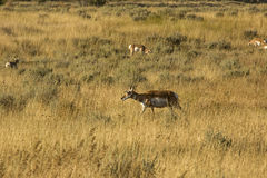 Herd of pronghorns, late summer, grazing in Jackson Hole, Wyomin Royalty Free Stock Photo