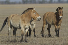 Herd of Przewalski horses in autumn steppe. Royalty Free Stock Images