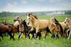 Herd of purebred akhalteke horses in summer Stock Photo