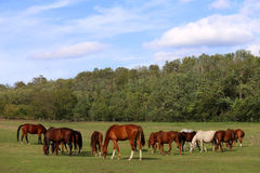 Herd of purebred horses eating fress green grass natural environ Royalty Free Stock Photography