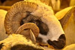 Herd of rams and sheep in animal market. The rams and sheep herd in the animal market are waiting to be sold royalty free stock photos
