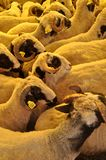 Herd of rams and sheep in animal market. The rams and sheep herd in the animal market are waiting to be sold stock photo