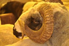 Herd of rams and sheep in animal market. The rams and sheep herd in the animal market are waiting to be sold royalty free stock photography