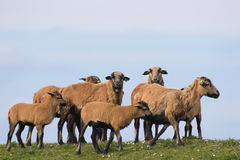 Herd of rare cameroon sheep against the sky. A herd of rare cameroon sheep (with hair instead of wool) in Tiengemeten, Netherlands Stock Photos
