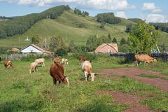 A herd of red cows grazing on the street in the village, against the backdrop of wooded mountains. Summer landscape. A herd of red cows grazing on the street in Stock Image