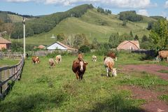 Herd of red cows grazing on the street in the village, against the backdrop of wooded mountains. Summer landscape. Herd of red cows grazing on the street in the Royalty Free Stock Images