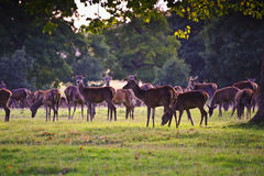 Herd of red deer in Autumn Fall Stock Photography