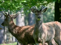 Red deer grazing in the spring. A herd of red deer Cervus elaphus grazing in the spring sunshine royalty free stock image