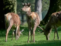 Red deer grazing in the spring. A herd of red deer Cervus elaphus grazing in the spring sunshine stock image
