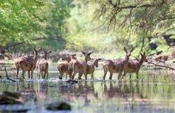 Herd of red deer hinds Stock Photos