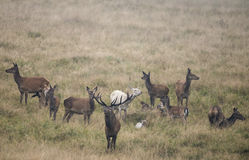 A herd of red deer Stock Images