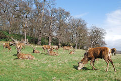 Herd of Red Deer, Richmond Park. A herd of stags in Richmond Park in England, created by King Charles 1 as his deer-hunting park in 1637. Today the park is open Stock Images