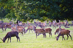 Herd of red deer during rut in Autumn Fall Royalty Free Stock Image