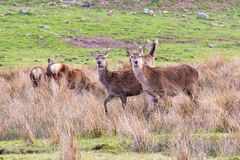 A herd of red deer seen in a Scottish meadow in a clearing amon. Gst tall grasses stock photos