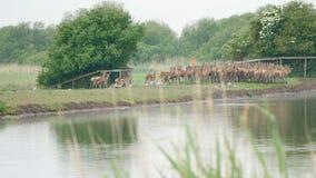 Herd of red deer about to cross water. Herd of deer running towards a stream in order to cross it stock footage