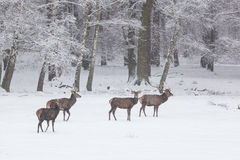 Herd of red deer in winter Royalty Free Stock Photos