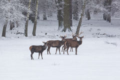 Herd of red deer in winter Royalty Free Stock Image