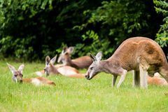 Herd of Red Kangaroo in field. Beautiful herd of cute Red Kangaroo laying down and standing in green grass field Royalty Free Stock Photo