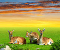 Herd of Red lechwe antelope Stock Image