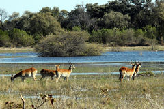 Herd of Red Lechwe Royalty Free Stock Photography
