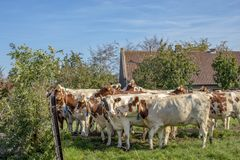A herd red and white adult cows waiting behind a fence, with neck collar, cosy together. A herd red and white adult cows waiting behind a fence, with neck royalty free stock images