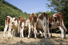 A herd red and white heifers, montbeliarde, in a row. royalty free stock photo