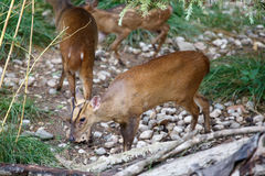 Herd of Reeves`s muntjac grazing Royalty Free Stock Photos