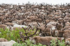 A herd of reindeer Royalty Free Stock Photos